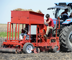 Researchers planting Miscanthus.